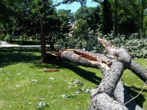 Downed tree in Hester Park, adjacent to St. Cloud Hospital (Photo: Aubrey Immelman)